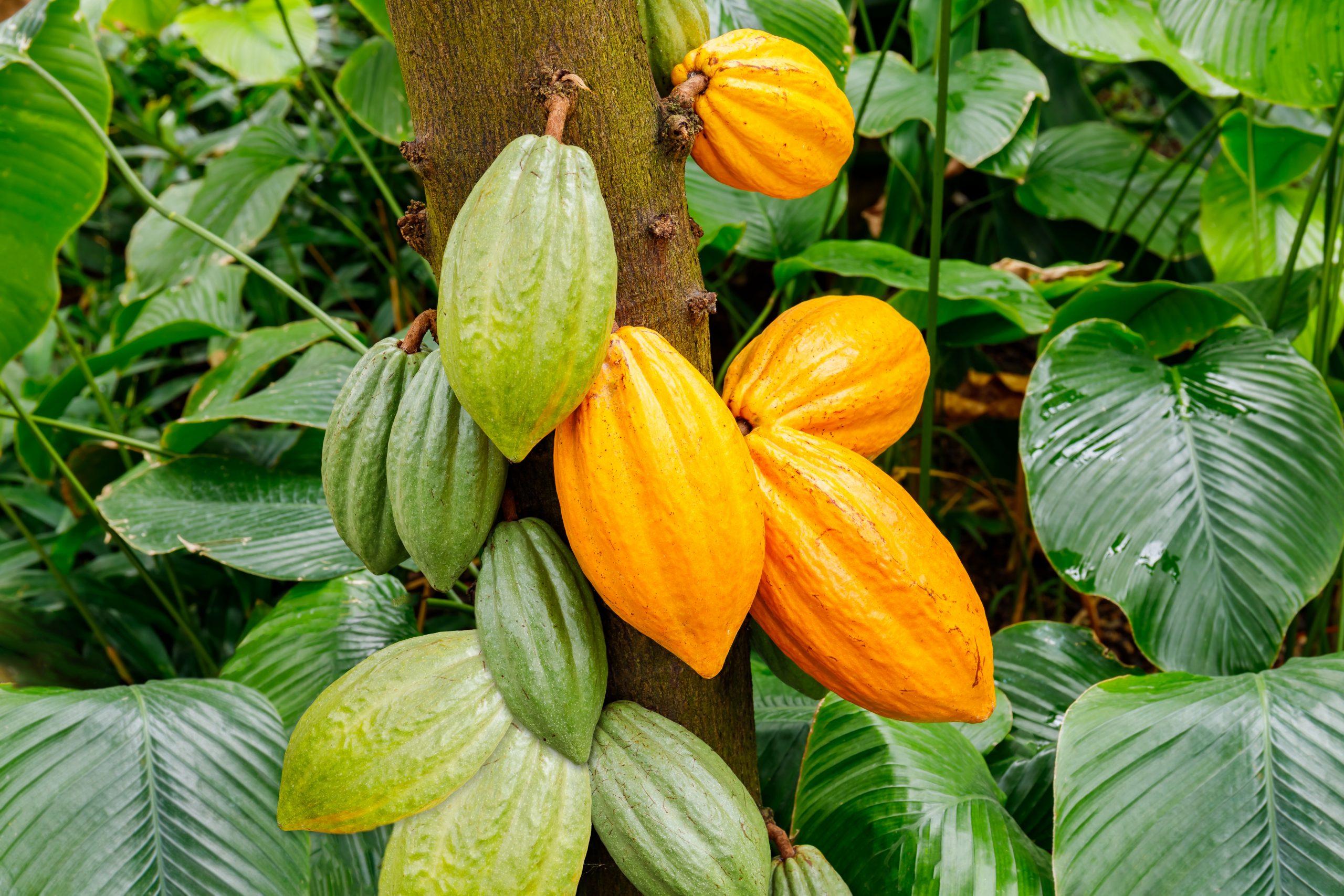 Nos 6 origines de cacao